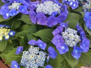 大好きな紫陽花の季節